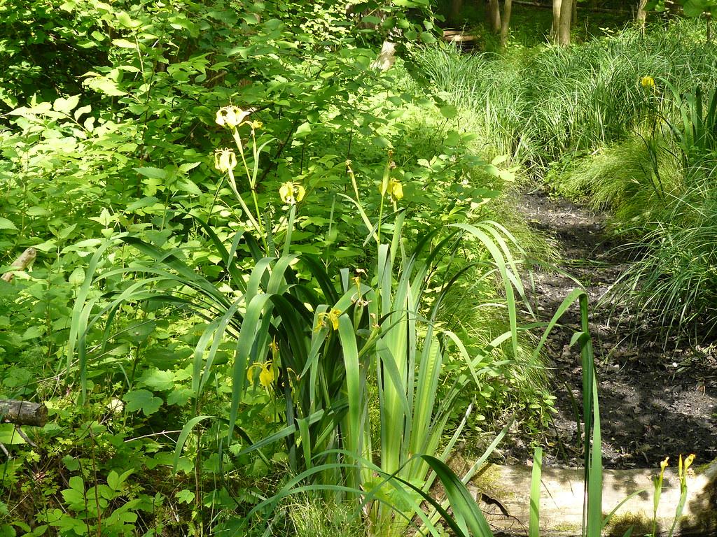 Iris pseudacorus-2