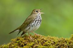Ovenbird - Shawnee Songbirds (www.studebakerstudio.com) Tags: ovenbird warbler bird songbird moss shawnee ohio nature singing