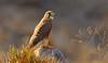 Common kestrel (Zahoor-Salmi) Tags: zahoorsalmi salmi wildlife pakistan wwf nature natural canon birds watch animals bbc flickr google discovery chanals tv lens camera 7d mark 2 beutty photo macro action walpapers bhalwal punjab