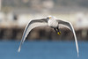 Snowy Egret (beachwalker2008) Tags: snowyegret bif birdinflight stearnswharf ocean water building wharf pier