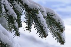 Verschneite Tannenzweig (Martinus VI) Tags: grosshöchstetten möschberg winter winterlandschaft hiver schnee nieve snow neige kanton de canton bern berne berna berner bernese schweiz suisse svizzera suiza switzerland y150222 martinus6 martinusvi