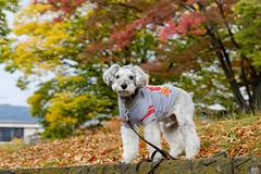 秋の運動公園 (photojiro) Tags: xc50230mmf4567oisⅱ fujifilmxpro2 astia fujifilm fujinon lr テオ 曇り 秋 長野運動公園 10月 落ち葉 紅葉