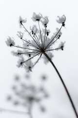 Epiphanie, têtes couronnées (Fabien Husslein) Tags: epiphanie roi king couronne crown neige snow plante nature hiver winter bokeh