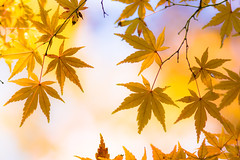 twinkle, twinkle (hitohira_) Tags: flower flowers nature bokeh leaves maple