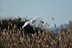 A-LUR_5554 (ornessina) Tags: trasimeno umbria byrd uccelli aironi cormorani toscana va orcia