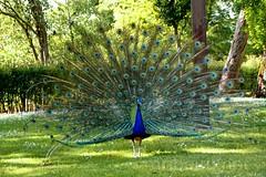Pavão (vmribeiro.net) Tags: geo:lat=4114731482 geo:lon=862765253 geotagged massarelos porto portugal prt pavao ave passaro bird penas oporto sony a350