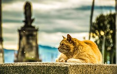 the Lion King is back (-REcallable-Memories-of-ET-) Tags: 2015 bodensee iránysvájc katze lindau nikon németország cat d5200 deutschland germany macska red vörös lion king lionking