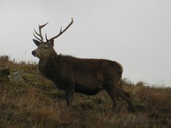 His Majesty, near Kinlochewe, Highlands of Scotland, Jan 2017 (allanmaciver) Tags: kinlochewe highlands scotland stag deer handsome sturdy beast bifg proud antkers majestic brown camouflage hillside allanmaciver