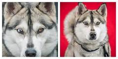Husky eyes (lauripiper) Tags: shelterdog adoptdontshop baldwinparkshelter husky dog eyes nikon d810 2016 baldwinpark losangelescounty lacounty