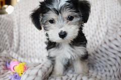 Puppy (m.buzzart) Tags: animal pup puppy baby babyanimal dog boomer cute adorable pet eye