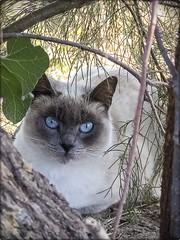 GATO (BLAMANTI) Tags: gatos cat mascotas felinos animales naturaleza siames ojos azul