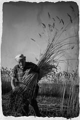 Riet snijder Jan de Koning (Steven Dorgelo Photography) Tags: jandekoning rietsnijder biesbosch ambacht oudeman