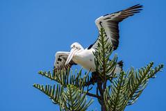 Pelican (Kiwi-Steve) Tags: australia goldcoast pelican tree nikond7200 nikon bird nature