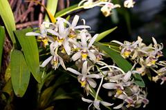 Dendrobium (Epigeneium)  cymbidioides (Eerika Schulz) Tags: dendrobium epigeneium cymbidioides