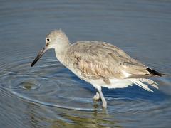 Willet (South Padre Island BNC) (stinkenroboter) Tags: southpadreislandbirdingandnaturecenter texas willet tringasemipalmata shorebird bird