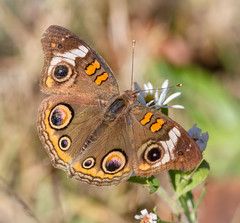 Buckeye (tresed47) Tags: 2016 201611nov 20161104extonparkmisc buckeye butterflies canon7d chestercounty content extonpark folder insects pennsylvania peterscamera petersphotos places takenby us ngc npc