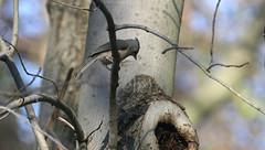 Tufted titmouse in Staten Island, New York, USA. November, 2016 (Tom Turner - SeaTeamImages / AirTeamImages) Tags: titmouse tuftedtitmouse bird birding birdwatching nature wildlife feathered featheredfriend winged statenisland newyork tomturner usa unitedstates bigapple nyc baeolophusbicolor treeknothole knothole treehollow treehole