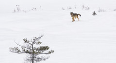Winter Wolf (Tracy Munson Photography) Tags: algonquin algonquinprovincialpark algonquinwolf canada easternwolf ontario animal canine cold nature predator snow wild wildanimal wildlife winter wolf
