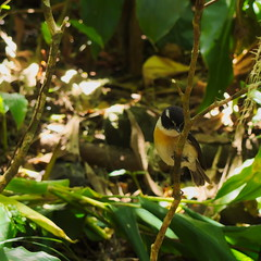 Hide-and-seek in the bushes (Ren-s) Tags: bird oiseau réunion île island océanindien indianocean feuille leaves branches bush buisson nature couleur exterieur france overseas outremer dom bokeh flou forest fôret tropical animal yellow jaune