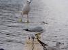 Swans at Horn Pond Woburn, MA (Beth Rizzo) Tags: swan muteswan bird wings flight avian nature pon pond water wildlife ducks gulls seagulls