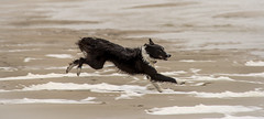 """22/52 """"French Beach, English Beach .. who cares!!"""" (JJFET) Tags: beach fun for 22 collie paddy border running weeks 52 dofs"""