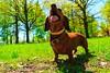 Dachshund (kharlamov_a) Tags: dog pets nature dachshund tasya