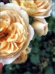 (Tlgyesi Kata) Tags: yellowflower rosen rosa rose rzsa withcanonpowershota620 summer vcrttibotanikuskert nemzetibotanikuskert botanikuskert botanicalgarden rosier rzsakert rosegarden blossom vcrtt nyr