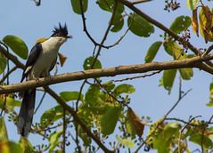 Jacobin cuckoo (AnilGoyal Pixelart) Tags: bird cuckoo dehradun dehradoon uttarakhand indianbirds chakor clamatorjacobinus jacobincuckoo  anilgoyalpixelart indianpiedcuckoo