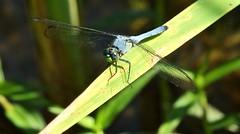 Eastern Pondhawk (male) (Castilleja19) Tags: macro insect virginia dragonfly odonata erythemissimplicicollis