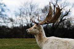 White Stag (james.mullender) Tags: nature countryside stag wildlife deer naturalworld deers sevenoaks whitestag knolepark