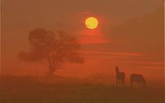 two horses by sunset P7264028 hf (hlh 1960) Tags: light sunset summer horses sun tree nature landscape golden evening abend licht weide sonnenuntergang sommer natur july gimp compo juli landschaft sonne pferde koppel gutenabend pferdekoppel schönewoche