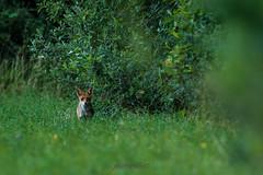 renard en promenade (photopierrot44) Tags: nature nikon champs sauvage renard d610