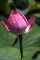 2015 Lotus #5 (Yorkey&Rin) Tags: summer japan lotus july olympus  kanagawa rin fujisawa kugenuma   em5  pc236614 olympusm75300mmf4867ii