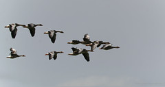 De vlucht van de wilde ganzen... (John de Grooth) Tags: nikon bigma gans ganzen bif grauweganzen kleinerietgans d7000 sigma50500mmf4563apodgoshsm birdibflight
