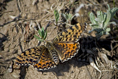 / Melitaea didyma / Spotted Fritillary or Red-band Fritillary  / Rote Scheckenfalter (katunchik) Tags: butterfly bulgaria schmetterling bulgarien nymphalidae bulharsko