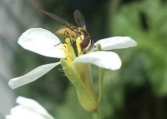 Allograpta 1 (alfredoeloisa) Tags: animalia arthropoda syrphidae diptera insecta hexapoda pterygota allograpta brachycera muscomorpha syrphoidea