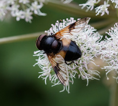 Hoverfly (tods_photo) Tags: