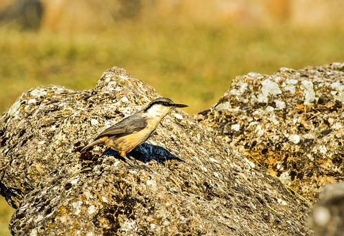 western rock nuthatch - pamukkale, turkey 2