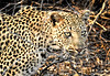 Dangerous Beauty (Jeff Clow) Tags: leopard southafrica eyecontact danger dangerous beauty