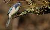 California Scrub-Jay (andrewj1882) Tags: california scrubjay aphelocoma californica