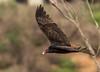 Turkey Vulture (shottwokill) Tags: vulture turkeyvulture birds nikon wildlife 200500 nature flight nikkor bolsachicaecologicalreserve california wetlands marsh field morning d800 cropped