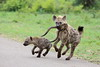 Young hyena's playing (Peet van Schalkwyk) Tags: hyena knp