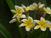 ahumancandesire (renedepaula) Tags: flower jasmine petal tree leaf green yellow drop rain water wet urban city sampa saopaulo brasil brazil