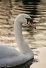 Swan by sunset (ellie.taylor30) Tags: swan rooksbury hampshire sigma nikon sigma150600 flickrnature nikonnaturephotography