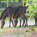 Jacksonville Zoo 10-29-2014 - Grevys Zebra 3