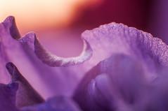 _DSC1550 (KateSi) Tags: flowers fleurs flores flower fleur blom blomster flor plant plants macro purple morado lilla violet nikon nikond90 depthoffield