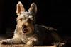 Mojo (alhughes54) Tags: mojo yorkiepoo dog petportraiture puppies puppy smokeilluminations
