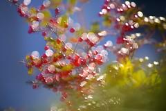 Ardisia crenata (joka2000) Tags: nut dof bokeh ball christmasberry ardisiacrenata マンリョウ multipleexposure