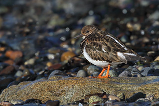 Ruddy Turnstone | Tournepierre à collier