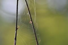 Enlightened web (dfromonteil) Tags: web toile araignée spider macro bokeh nature lumière light sunlight soleil ensoleillé vert green wow